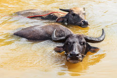 Buffaloes are Swimming in Swamp. Local Thai Buffaloes are Taking a bath in Swamp Royalty Free Stock Photo