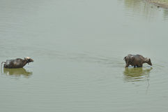 Buffaloes swims in lake Royalty Free Stock Photo