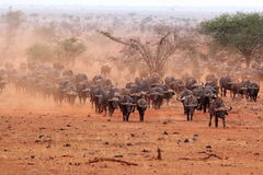Buffaloes Tsavo Royalty Free Stock Photo
