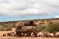 buffalop大象 库存照片