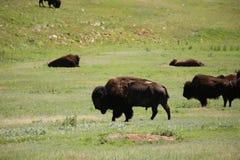 Buffaloroam Stock Photos