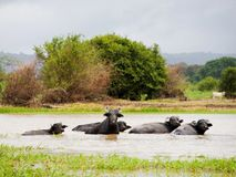 Buffalos. Photo of buffalos, resting in the river Orinoco Stock Images