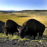 Buffalos Royalty Free Stock Photo
