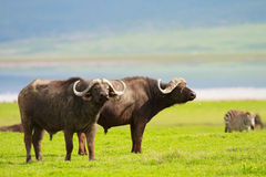 Buffalos Stock Photography
