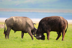 Buffalos Royalty Free Stock Image