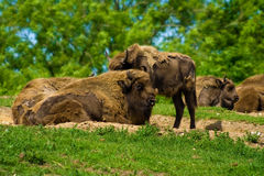 Buffalos Stock Photo