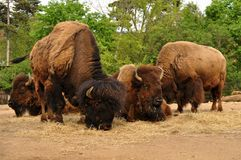 Buffalos Royalty Free Stock Images