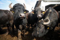 Buffalos Royalty Free Stock Photography