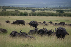 Buffalos Royalty Free Stock Images