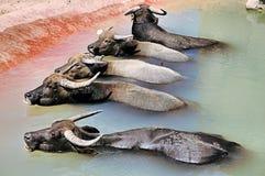 Buffalos. Bufallos taking bath Royalty Free Stock Photo