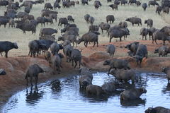 Buffalos. Herd of buffalows around a water hole stock images