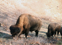 Buffalos Stock Image