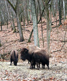 Buffalos Royalty Free Stock Photos