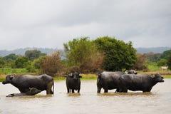 Buffalos Royalty Free Stock Image