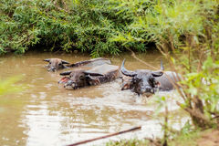 Buffalos bath on Don Det. Big buffalos taking bath on Don Det island in south Laos. Life on four thousands islands Si Phan Don on Mekhong river in south east stock photo