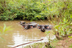 Buffalos bath on Don Det. Big buffalos taking bath on Don Det island in south Laos. Life on four thousands islands Si Phan Don on Mekhong river in south east royalty free stock photography