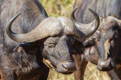 Buffalos Birds Cleaning Wildlife Royalty Free Stock Photography
