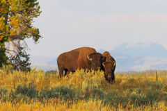 Buffalos / Bisons in high grass in Yellowstone National Park Stock Photo