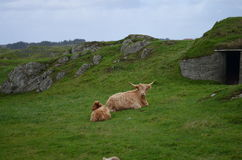 Buffalos chilling at pasture Stock Photography
