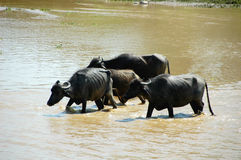 Buffalos crossing river Royalty Free Stock Image