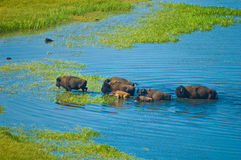 Buffalos crossing a river Royalty Free Stock Images