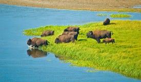 Buffalos crossing a river stock image
