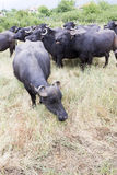 Buffalos in a dairy farm Stock Images