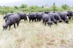 Buffalos in a dairy farm Royalty Free Stock Photography