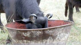 Buffalos in a dairy farm stock video footage