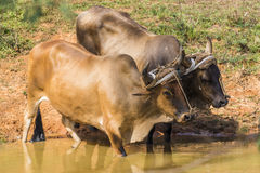Buffalos drinking water in Vinales, Cuba Stock Images