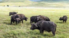 Buffalos Stock Photo