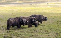 Buffalos Stock Photography
