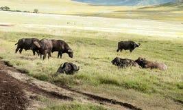 Buffalos Royalty Free Stock Photo