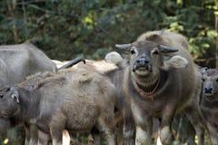 Buffalos are fed along the valley Royalty Free Stock Photos