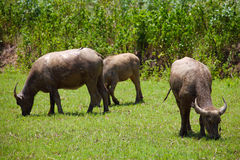 Buffalos feeding in grass field Royalty Free Stock Images