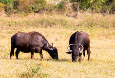 Buffalos in the field Royalty Free Stock Photography