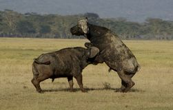 Buffalos fighting. In Nakuru Lake park, Kenya Royalty Free Stock Photo