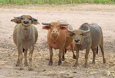 The Buffalos at fram. That are Buffalos at fram stock images