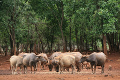 Buffalos' Group in the forest Stock Images