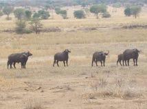 Buffalos group in safari park stock photography