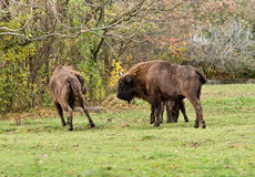 Buffalos Stock Images