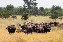 Buffalos in Kruger National Park Stock Images
