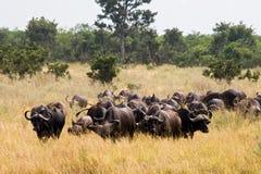 Buffalos in Kruger National Park Stock Images