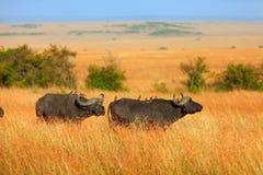 Buffalos in Masai Mara Stock Images
