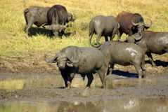 Southern african animals. Buffalos at mud bath in Kruger National Park Stock Images