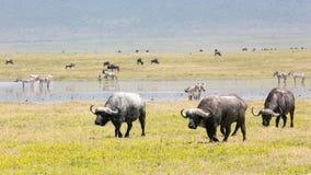Buffalos Stock Photos