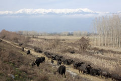 Buffalos In Northern Greece Stock Image