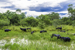 Buffalos in the Pantanal Farm, Brazil Royalty Free Stock Photography