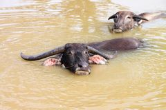 Buffalos are relax playing on pond Royalty Free Stock Photo