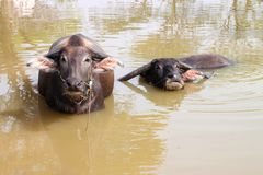 Buffalos are relax playing on pond Royalty Free Stock Photos